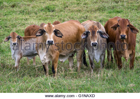 Cattle in Australia - Stock Image