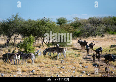 Zebra graze as Wildebeest walk on a trail to a waterhole to drink, in Etosha National Park, Namibia. - Stock Image