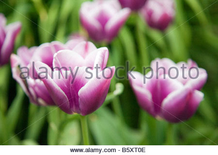 TULIPA ARABIAN MYSTERY TULIP BEARING DARK PURPLE FLOWERS WITH A WHITE MARGIN IN MID SPRING - Stock Image