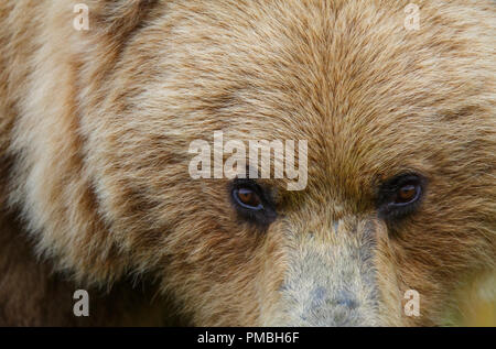 A Brown or Grizzly Bear, Lake Clark National Park, Alaska. - Stock Image
