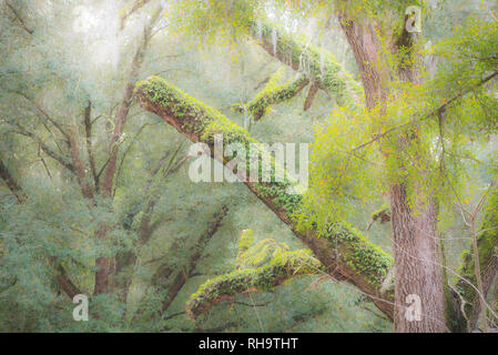 Old dead Live Oak tree with moss and Resurrection fern covered branches and limbs. - Stock Image