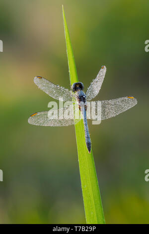 A dew-covered male Little Blue Dragonlet (Erythrodiplax minuscula) perches on a blade of grass in the morning. - Stock Image