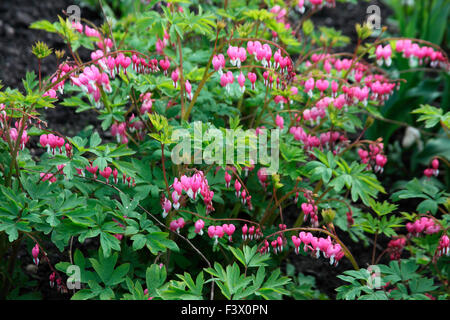 Dicentra spectabilis plant in fllower - Stock Image
