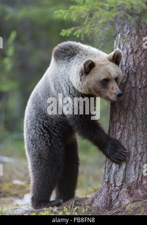 Brown bear (Ursus arctos) juvenile playing, hiding behind tree, Kainuu, Finland, May. - Stock Image