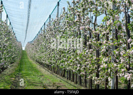 Spring pink blossom of apple trees in orchard, fruit region Haspengouw in Belgium, rows of blossoming trees - Stock Image