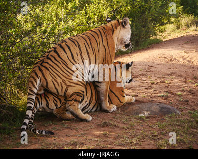 Two bengal tigers mating in natural environment. - Stock Image