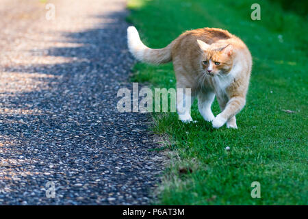 Defensive domestic cat with hackles up and fluffed up raised fur along back - Stock Image
