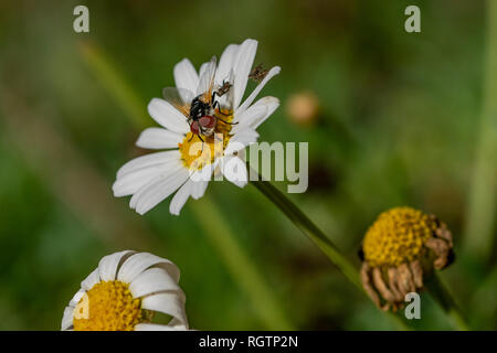 Fly on daisy flower collecting nectar pollen with a pair of flies mating on a white petal leaf - Stock Image
