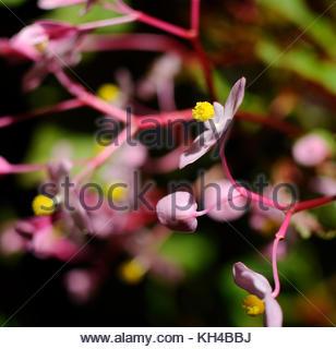Begonia grandis evansiana - Stock Image