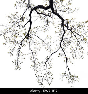 Low Angle View of Camperdown Elm Tree Branches with Blooming Leaves - Stock Image