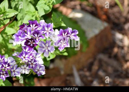 small purple flowers in garden - Stock Image