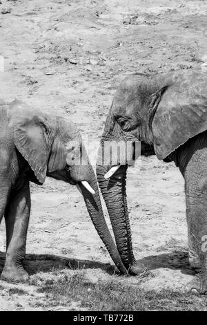 Black and white, close-up, side view photograph of two African elephants, mother and baby, trunks together outside in the sunshine. - Stock Image