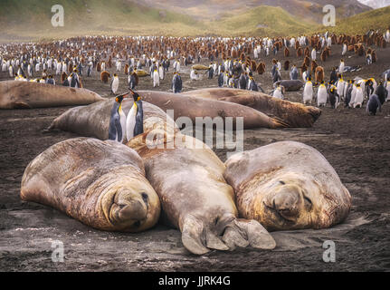 Two king penguins standing together beside 3 large resting elephant seals on South Georgia Island in the South Atlantic - Stock Image