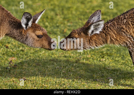 Two kangaroos seem about to kiss.  Location is Pinaroo Memorial Park in Western Australia. - Stock Image