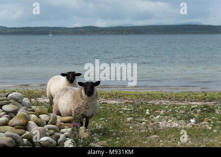 Kintyre Sheep - Stock Image