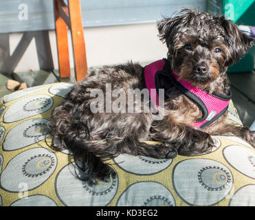 Yorkipoo crossbred dog lays on a pillow looking at the camera - Stock Image