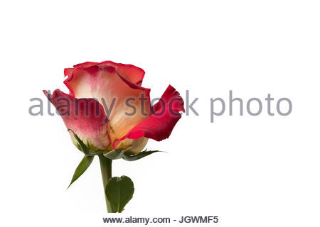 Red and yellow rose special white background - Stock Image