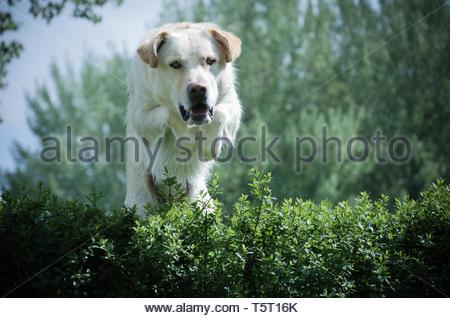 A Golden Retriever does agility - Stock Image