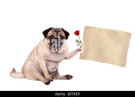 lovely cute pug puppy dog sitting down holding blank vintage paper scroll, isolated on white background - Stock Image