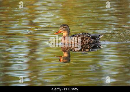 A hen mallard duck in early morning light. - Stock Image