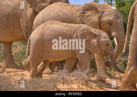 Focus on baby african elephant walking in a large family - Stock Image