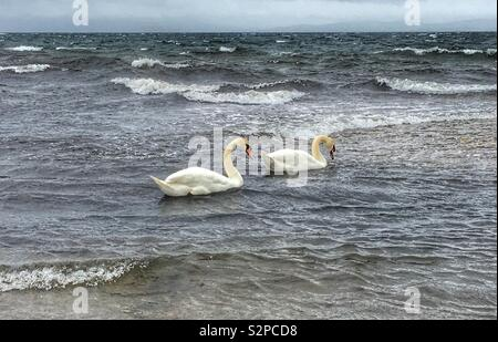 Two swans swimming together in the sea - Stock Image