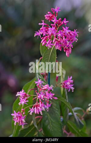 Close up view of Fuchsia arborescens - Stock Image