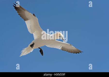Northern gannet (Morus bassanus) in flight. Great Saltee island, co Wexford, Ireland. April. - Stock Image