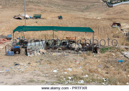 Bedouin Shepherd's Flock with Tent Housing  (in background) - Jordan 2018 - Stock Image