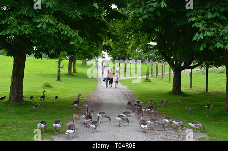 Greylag geese with their young in Weald Country Park, South Weald, Brentwood, Essex, UK - Stock Image