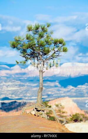 Lone pine tree on the edge of Bryce Canyon, Utah, USA. - Stock Image