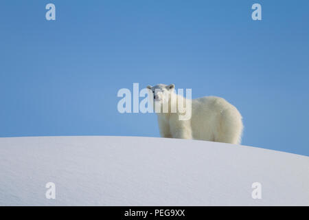 Yearling Polar bear (Baffin Island) - Stock Image