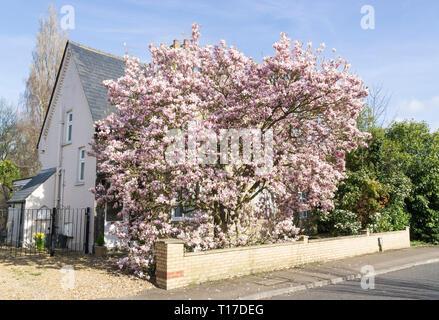 Deciduous magnolia tree in full bloom Milton Cambridge 24 March 2019 - Stock Image
