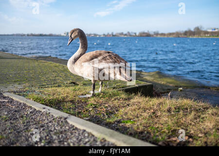 Full Length Of Swan On Riverbank - Stock Image