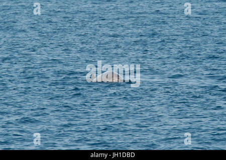 Male Blainville's beaked whale, Mesoplodon densirostris, or the dense-beaked whale, surfacing, Maldives, Indian - Stock Image
