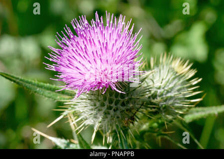 Spear Thistle (cirsium vulgare), close up of a single flower head with bud. - Stock Image