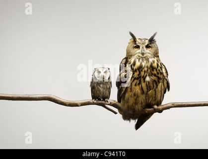 Scops and Eagle Owls sitting together on a branch - Stock Image