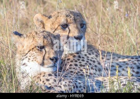Cheetah cubs - Stock Image