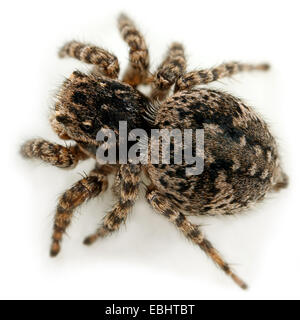 A female jumping spider (Aelurillus v-insignitus) on white background. Jumping spiders are part of the family Salticidae. - Stock Image
