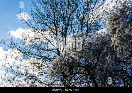 Bare winter tree behind a hedge of wild clematis seed heads against a blue cloudy sky - Stock Image