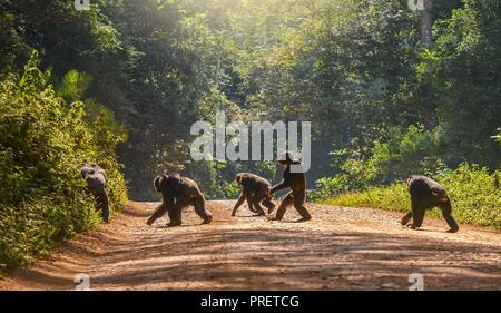 Interesting animal behavior, with a male chimpanzee walking upright, like a human, across a dirt road. The other four chimps are moving in the usual w - Stock Image