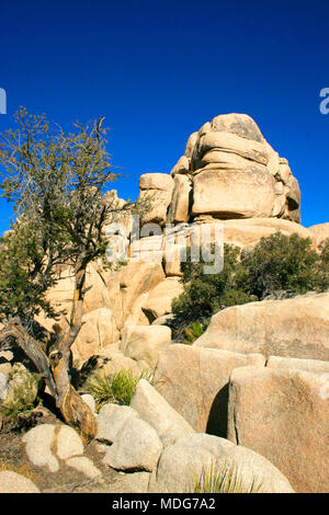 A lonely tree grows among the stones in the mountains. Mojave Desert; Joshua Tree National Park; California - Stock Image