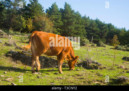Cow grazing. Sierra Norte Nature Reserve, Guadalajara province, Spain. - Stock Image