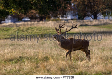 Bushy Park, Hampton, London. 7th October 2018. A rutting red deer stag sniffs the air checking for rivals in the early morning sunshine. Credit: Images by Russell/Alamy Live News Credit: Images by Russell/Alamy Live News - Stock Image