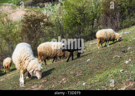Herd of sheep grazing high in the mountains in spring - Stock Image