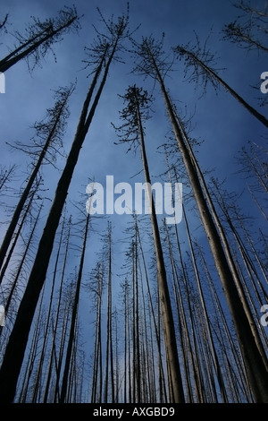 Burnt narrow trees rise up to the sky caused by the fire in Kelowna BC Canada. - Stock Image