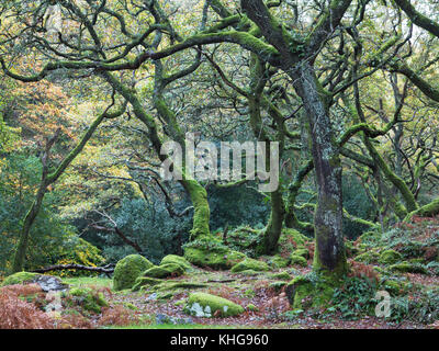 Twisted oak tree trunks in British woodland in Autumn - Stock Image