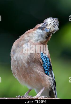 Detailed, portrait, close-up front view of wild, juvenile, British jay bird (Garrulus glandarius) isolated in natural UK outdoor habitat in funny pose. - Stock Image