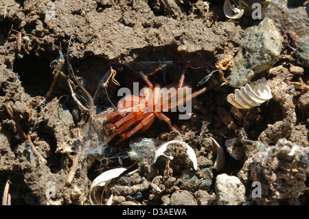 Woodlouse spider female (Dysdera crocata: Dysderidae) in her lair with remains of woodlouse skeletons beneath a - Stock Image