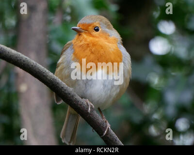 Cute robin - Erithacus rubecula on a branch - Stock Image